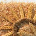 قیمت خرید سبوس گندم درجه یک برای خوراک دام و طیور